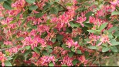 garden flowers : azalia bush Stock Footage