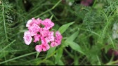 beauty in nature : single sweet william carnation blossom Stock Footage