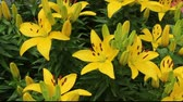 several yellow day lillys in a small flower garden Stock Footage