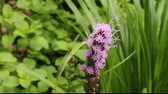 single liatris blossom