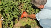 man picking a tomato from his garden