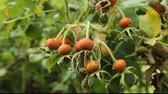 rose hips on a rosa rugosa bush