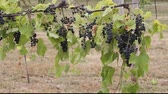 several bunches of wine grapes Stock Footage