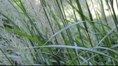 stalks of maiden hair grass in a gentle breeze Stock Footage
