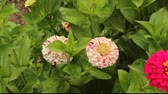 two varieties of zinnia blossoms