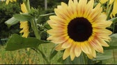 garden flowers : closeup view of a giant sunflower blossom
