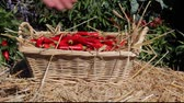 placing fresh chili peppers into a wicker basket Stock Footage