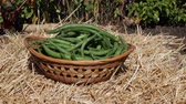 adding green beans to a wicker basket in the garden
