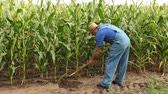 farmer using a hoe in his large corn field
