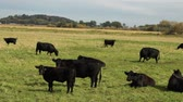 A herd of Black Angus beef cows in a hay field Stock Footage
