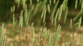 grass : Nice grass sways in the wind