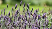 provence : Closeup of lavender flowers