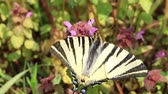 syringa : Beautiful swallowtail (Papilio machaon ) butterfly sucking nectar