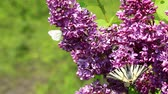 syringa : Insects sucking nectar in a flowers from common lilac bush Stock Footage