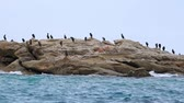 great cormorant : Great cormorant flock standing on a rock Stock Footage