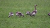 bean goose : Anser fabalis, Bean Goose, Lower rhine family