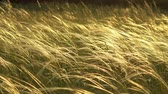 palouk : Stipa plants in the sunset light on the meadow