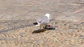 agressão : Seagull eating a dead dove on the street