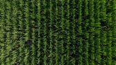 milharal : Drone footage from a maize at summertime in Spain Stock Footage