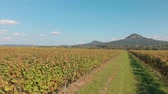 grape : Landscape view from a long grape rows in Hungary near the lake Balaton Stock Footage