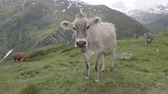 Beautiful alpine white cow with bell grazing on green meadow in Switzerland mountains, looking at camera. Furka pass.