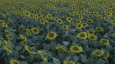 florescimento : Aerial shot footage of Sunflower field at summer sunset. Sunflower field from drone. Nature, flowers, plants. Drone flight over sunflower field. D-log.