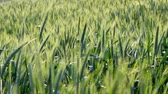 jęczmień : A close up of a lush green barley crop blowing in the wind