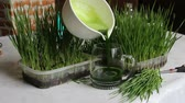 clorofila : Green organic wheat grass ready to drink. Trend of health