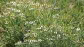 tea time : Chamomile or camomile flowers.Medical chamomile in the meadow