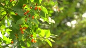floristic : Lonicera tatarica honeysuckle shrub with orange berries on wind. Green bush against sunny bokeh in trees. HD footage Stock Footage