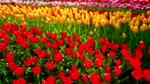 тюльпаны : Blooming tulips in Keukenhof flower garden. Lisse, the Netherlands.