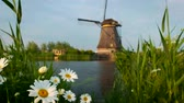 hollandalı : Daisy flowers and windmill at Kinderdijk in Holland. Netherlands Stok Video