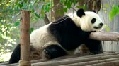 панда : Giant panda bear sleeping