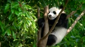 nadir : Giant panda bear cub on a tree