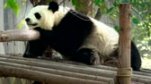 панда : Giant panda bear in China