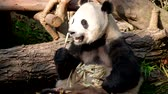 панда : Giant panda bear eating bamboo