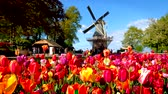 Blooming tulips flowerbed and windmill in Keukenhof flower garde