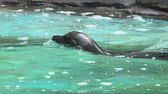 kaluž : Seal swimming in the water, slow motion