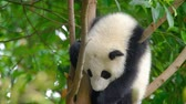 панда : Giant panda bear cub on a tree