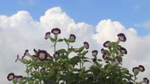 campanário : purple flowers and the sky Stock Footage