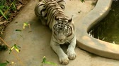 пантеры : Bengal white tiger