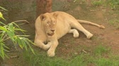 male animal : lion in the nature Stock Footage