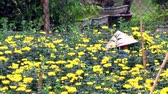hd : Haiduong, Vietnam, March, 23, 2015: women picking daisy on field