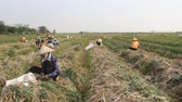 garden : HAI DUONG, VIETNAM, JANUARY 2: Farmers harvest the onion on the field on January, 2, 2015 in Hai Duong, Vietnam Stock Footage