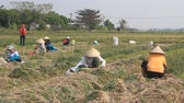 latão : HAI DUONG, VIETNAM, JANUARY 2: Farmers harvest the onion on the field on January, 2, 2015 in Hai Duong, Vietnam Stock Footage