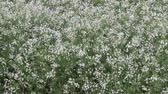 blossoming : white flowers in the vegetable garden