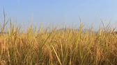 golden : rice field