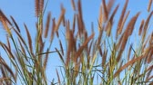 lour : Summer scene of reeds waving in the wind on a sunny day