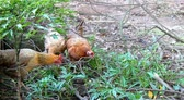 espinafre : foraging in the garden Hens