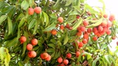 feixes : litchi fruit on the tree RIPE